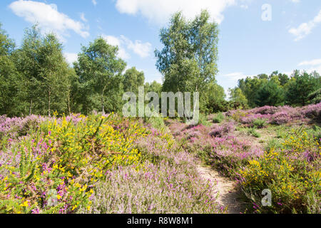 Iping and Stedham Commons, Midhurst, Sussex. August. Bell heather, Erica cinerea, Ling, Calluna vulgaris, Silver Birch and Gorse. Lowland heath. - Stock Image