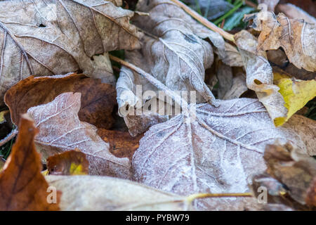 Stirlingshire, Scotland, UK - 27 October 2018: UK weather - frost on autumn leaves in Stirlinshire Credit: Kay Roxby/Alamy Live News - Stock Image