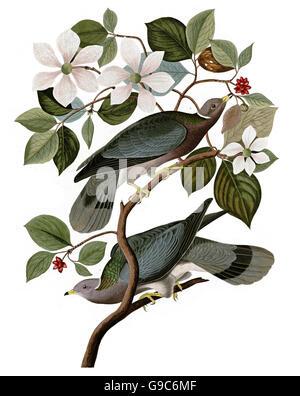 Band-tailed Pigeon, Columba fasciata, birds, 1827 - 1838 - Stock Image