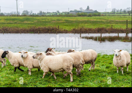 Caheragh, West Cork, Ireland. 15th Apr, 2019. Much of Ireland is currently in the midst of a Status Orange Rainfall Warning, issued by Met Éireann. Many fields in West Cork are flooded after numerous rivers burst their banks due to the torrential rain. This flock of sheep were stranded by the floods. Credit: Andy Gibson/Alamy Live News. - Stock Image