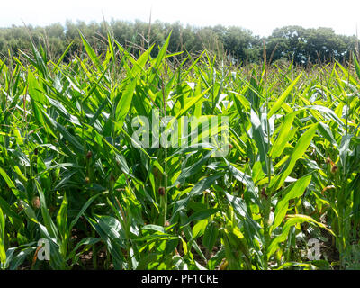Looking across a field of unripened sweet corn looking green and lush in the sunshine - Stock Image
