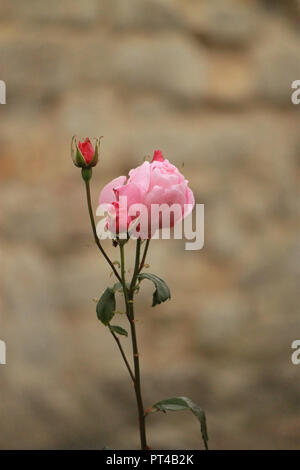 Pink rose and rose buds in a garden on a sunny day - Stock Image