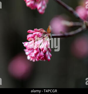 Beautiful, feminine and romantic little pink flowers photographed in Nyon, Switzerland. These cute little flowers are photographed with macro lens. - Stock Image