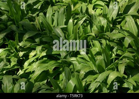 wood garlic spring background, allium ursinum or wild garlic or ramsons or buckrams or wood garlic or broad-leaved garlic in spring still without flow - Stock Image