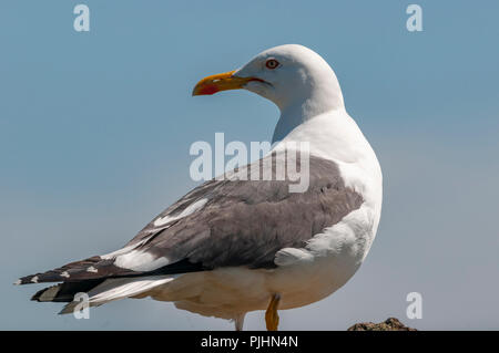 Herring gull, Lundy, UK - Stock Image