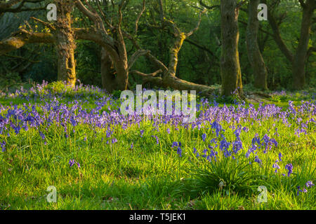 Bluebells at sunrise, South Downs National Park, West Sussex. - Stock Image