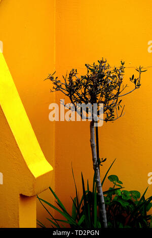 Oleander Shrub in front of a vivid orange and yellow wall - Stock Image