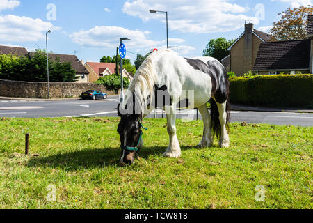 A tri coloured Irish cob/Gypsy Vanner horse tethered and grazing on grass at the side of a road in the Wiltshire town of Bradford on Avon - Stock Image