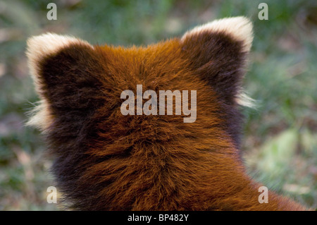 Red or lesser panda  head from behind showing pale ear tips China - Stock Image