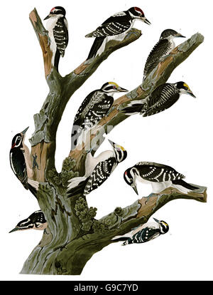 1 Three-toed Woodpecker, Picoides tridactylus, 2 Hairy Woodpecker, Picoides villosus, birds, 1827 - 1838 - Stock Image