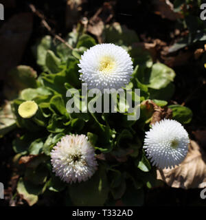 White chrysanthemum flowers in a closeup image taken during a sunny spring day in Nyon, Switzerland. In this photo you see three chrysanthemum flowers - Stock Image