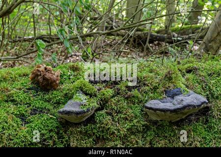 False morel, False morels (Gyromitra parma) = (Discina parma),  (Discinaceae) and Artist´s Bracket (Ganoderma applanatum),  (Ganodermataceae), - Stock Image