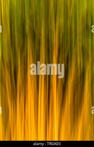 A clump of tall bamboo shoots photographed whist moving the camera upwards - Stock Image
