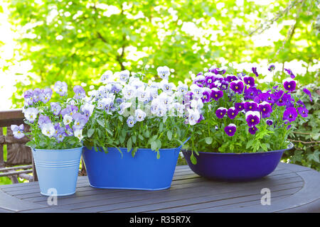 Purple, blue and violet pansy flowers in 2 pots and a bowl on a wooden balcony table in spring, copy or text space - Stock Image