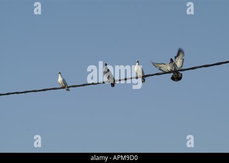 Pigeons Mallorca Majorca Spain Balearic Islands Mediterranean - Stock Image