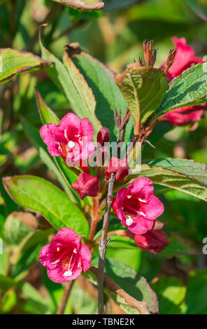 Red Weigela ornamental shrub flowering out of season in Autumn in West Sussex, England, UK. Weigela portrait. - Stock Image
