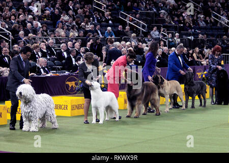 New York, USA. 12th Feb 2019. Westminster Dog Show - New York City, 12 February, 2019:  Working Group dogs awaiting judging at the 143rd Annual Westminster Dog Show, Tuesday evening at Madison Square Garden in New York City. Credit: Adam Stoltman/Alamy Live News - Stock Image