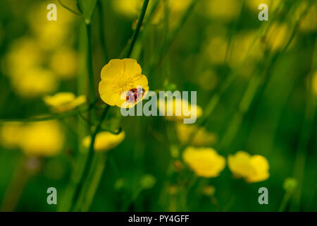Harlequin ladybird on the yellow petals of a buttercup wild flower - Stock Image