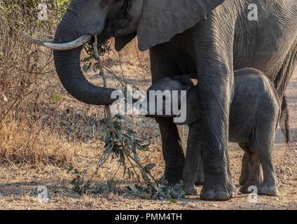 African Bush Elephant mother and calf, South Luangwa, Zambia - Stock Image