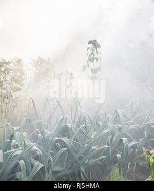 Plants in garden in morning fog - Stock Image