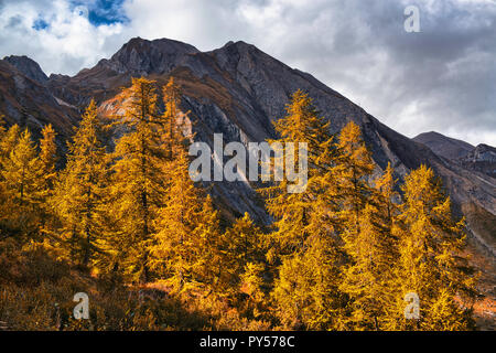 Forest of orange larch trees illuminated by the Sun with mountains peak and cloudy sky in background - Stock Image