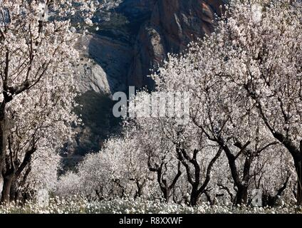 Spain, Aragon, Huesca, Riglos, cherry trees and almond trees in bloom in an agricultural plain - Stock Image