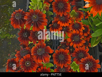 Close up of flowering Rudbeckia 'Summerina Brown' in a flower border - Stock Image