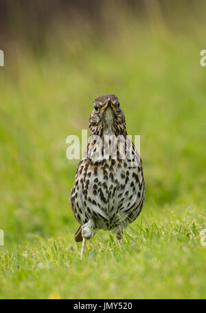 Beautifully speckled Song Thrush in alert upright stance on green grass - Stock Image