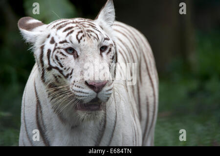 White tiger - Stock Image