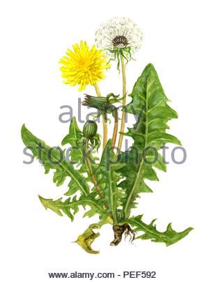 dandelion taraxacum - Stock Image