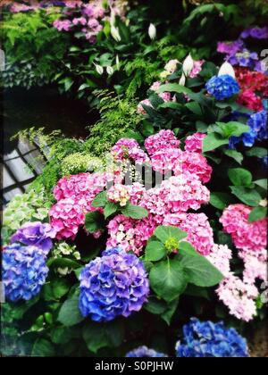 Garden in hothouse with hydrangeas and ferns - Stock Image