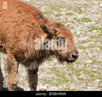 Baby Buffalo up close - Stock Image