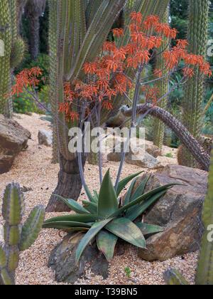 Coral Aloe, Aloe Striata. Parque de La Paloma. Benalmádena, Málaga, Spain. - Stock Image