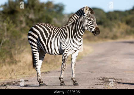 Young Equus burchelli common zebra or Burchell's zebra standing on a road or dirt track - Stock Image
