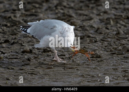 Herring gull (Larus argentatus) adult in winter plumage capturing shore crab. Norfolk, England. October. - Stock Image