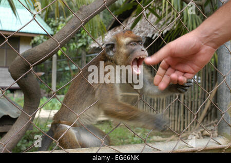 Violent monkey in the village El Nido. Philippines. El Nido (officially the Municipality of El Nido) is a first - Stock Image