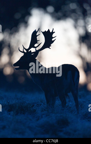 Fallow Deer (Dama dama), Buck Roaring at Dawn during the Rut, , Royal Deer Park, Klampenborg, Copenhagen, Sjaelland, - Stock Image