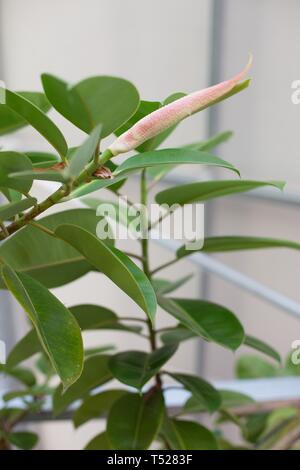 Ficus elastica - rubber plant - growing in a greenhouse at the Oregon Garden in Silverton, Oregon, USA. - Stock Image