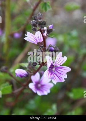 A closeup shot of a purple Mallow flower, England, UK - Stock Image