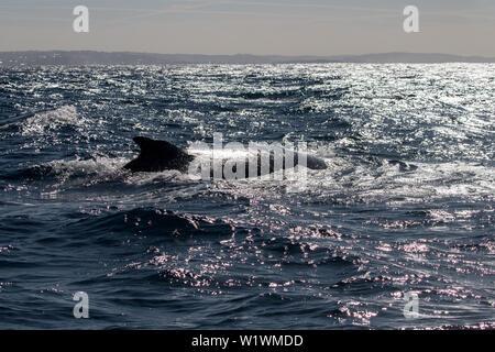 Humpback Whale Megaptera novaeangliae - Stock Image