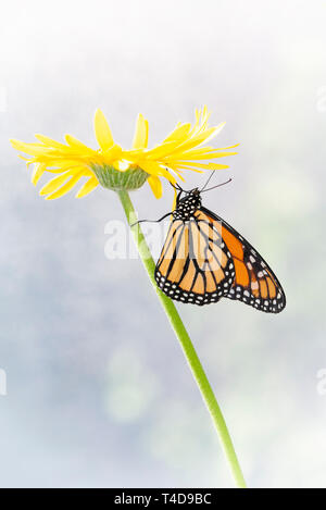 Monarch butterfly Danaus Plexippus resting under a yellow flower in the morning sun - side view - Stock Image