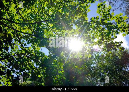 sunshine starburst through green spring leaves on tree - Stock Image