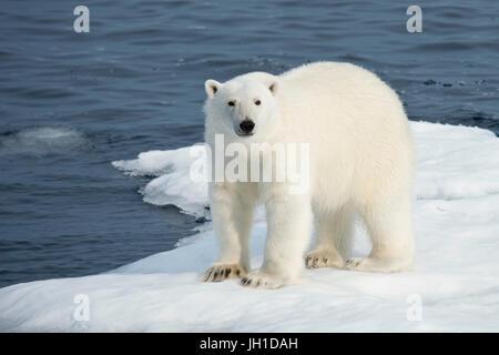 Male Polar Bear, Ursus maritimus, standing on an iceberg, Baffin Island, Canadian Arctic - Stock Image