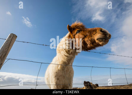 Iceladdc horse with barbed wire fence - Stock Image