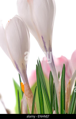 Group of white crocus on white background. Pink tulips in the background. - Stock Image