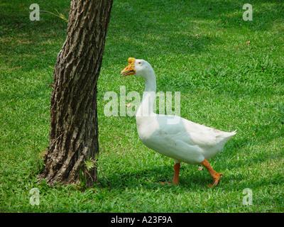 White goose towards tree in Thailand - Stock Image