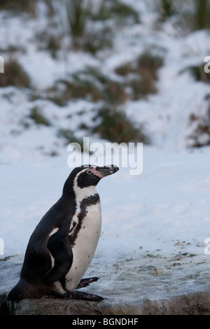 Humbolt penguin in snow - Stock Image