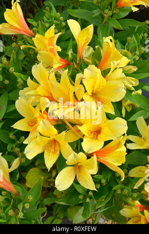 Colourful flower border with a close up a  Yellow Alstromeria - Stock Image