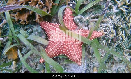 Red starfish underwater tangled up in underwater plants - Stock Image