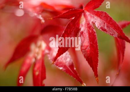 Close-up of deep red Japanese Maple leaf - Acer palmatum - Stock Image
